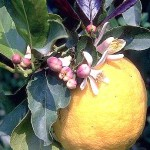 лимон3