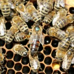 Пчела-Матка.